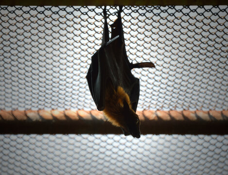 Bat hanging on roof in cage over white background