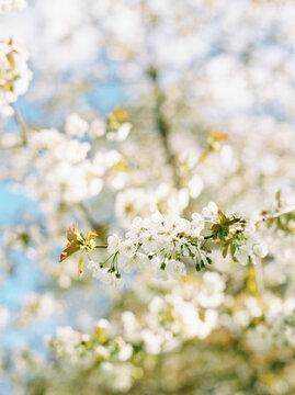 Vertical image of white cherry blossom