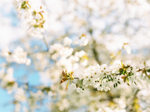 Horizontal image of white cherry blossom