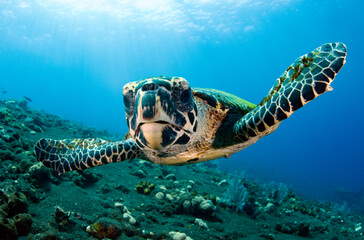 Hawksbill sea turtle in coral reefs. Underwater world of Bali, Indonesia.
