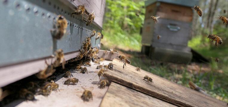 Miellée de bourdaine