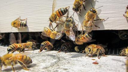 Fototapeta Abeilles buckfast à l'entrée de la ruche en été