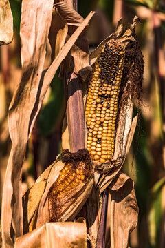 Kranke Maiskolben in einem durch Trockenheit und Klimawandel gezeichneten Feld in Deutschland