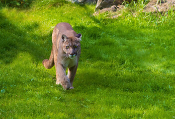 Cougar walking on the grass