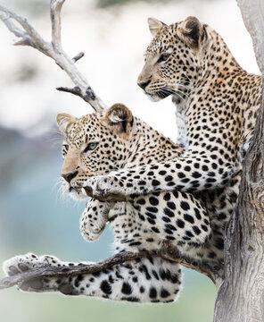 Leoparden in Namibia