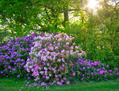 Rhododendron bushes growing in a garden with a canopy of trees in the background on a sunny spring day