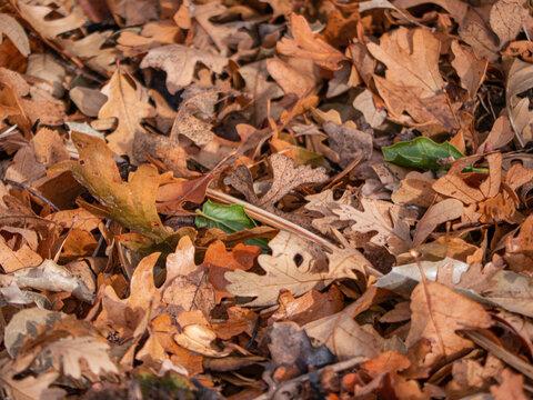 Close up of dry Fallen oak leaf litter