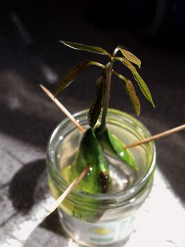 growing mango seed
