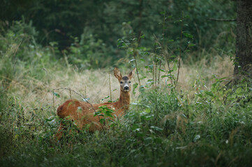 Young wild roe deer in grass field looking for food. (High ISO image)