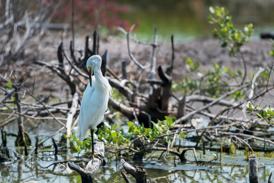The little egret preening its feathers , Thailand