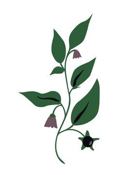 Atropa belladonna plant
