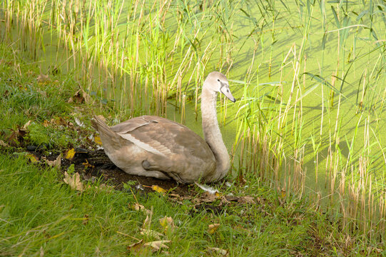 White and grey swan is relaxing on a quay at a pond