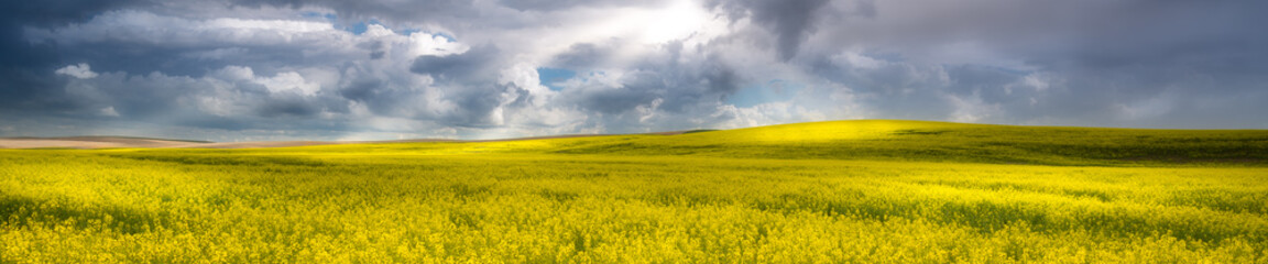 Panorama of a canola field in The Palouse, WA