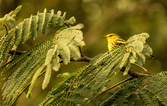 A Cape May Warbler which is a Fall Migrant to the Southeast United States.