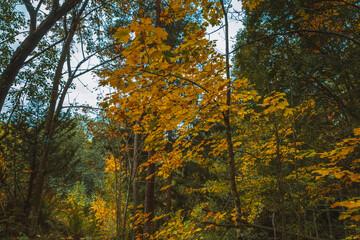 Żółte liście na drzewie wczesną jesienią