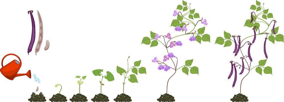 Life cycle of bean plant. Growth stages from seeding to flowering and fruiting plant isolated on white background
