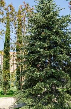 Abies concolor or white fir as large evergreen tree in city park krasnodar. Public landscape 'Galitsky park' for relaxation and walking in sunny autumn September 2020