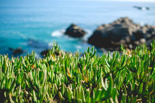 Close up of green succulent flowers in front of blue sea in a sunny day