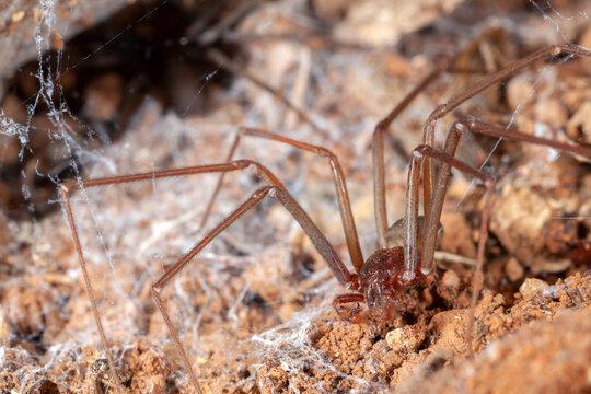 Recluse spider on natural habitat - danger poisonous spider