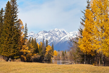 Autumn landscape with beautiful yellowed larch trees on the banks of river and a snowy mountain range at sunny day. Siberia, Baikal region, Eastern Sayan, Buryatia, Tunka foothill valley, Irkut river