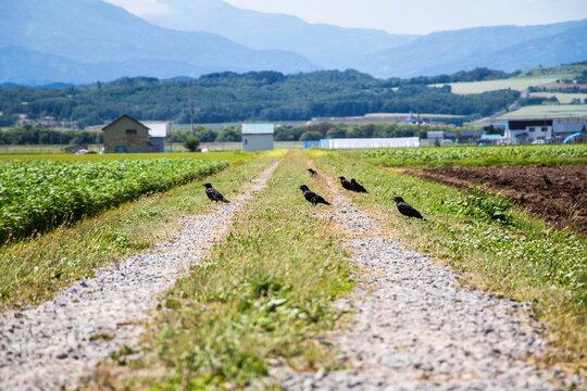 畑の道を歩くカラス