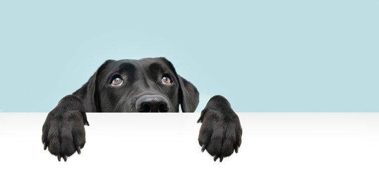 Close-up  hide black labrador dog looking up giving you whale eye hanging over a blank sign with room for text. Isolated on colored blue background.