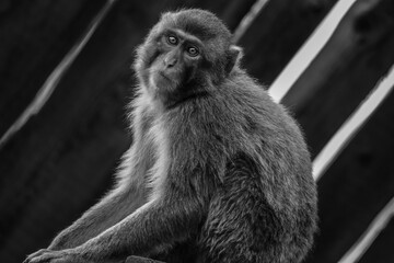 Black and white portrait of a monkey