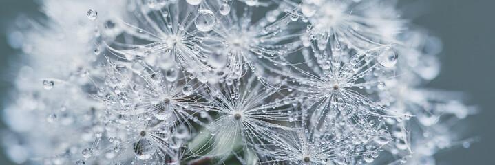 Obraz Beautiful dew drops on dandelion seed macro. soft blue background. Water drops on parachutes dandelion. Copy space. soft focus on water droplets. circular shape, banner ready - fototapety do salonu