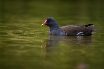 Photo sur Plexiglas Poules Green-footed hen in pond nature park