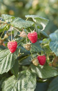 growing raspberries in autumn garden