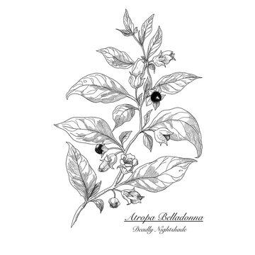 Atropa Belladonna. Deadly nightshade. Poisonous herbs