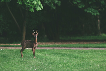 male deer standing tall on a green lawn under a tree in the evening