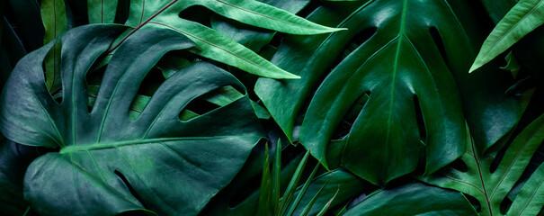 Wall Mural - closeup tropical green monstera leaf background. Flat lay, fresh wallpaper banner concept