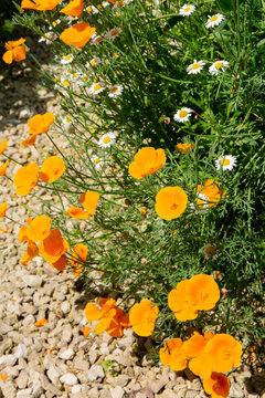 Californian poppy's in bllom