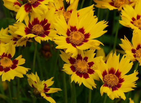Coreopsis Li'l Bang in bloom