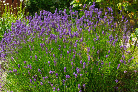 Lavender flowers blooming in the field