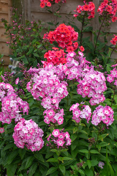 phlox flowers in bloom