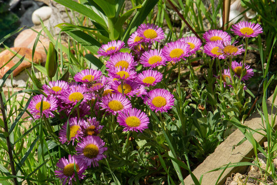 Sea breeze,  erigeron glaucus, flowers in bloom