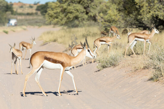 Springbuck or Springbok (Antidorcas marsupialis) Kgalagadi Transfrontier Park, Kalahari, Northern Cape, South Africa. Adult escorting a creche of young lambs across the road