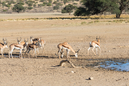 Springbuck or Springbok (Antidorcas marsupialis) at waterhole Kgalagadi Transfrontier Park, Kalahari, Northern Cape, South Africa