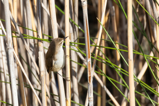 Lesser Swamp Warbler (Acrocephalus gracilirostris) perched on reeds on river bank, Western Cape, South Africa