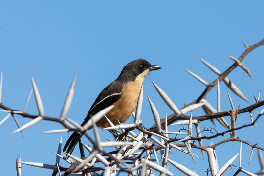Southern Boubou (Laniarius ferrugineus) perched amongst thorns, Bontebok National Park, Western Cape, South Africa
