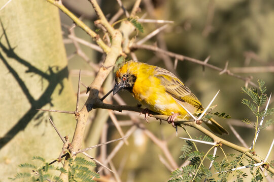 Southern Masked Weaver (Ploceus velatus) breeding male in transitional plumage during the pre-breeding moult at the end of winter