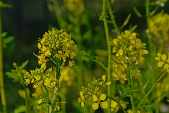 Bright yellow wild mustard flowers , selective focus - sinapis arvensis