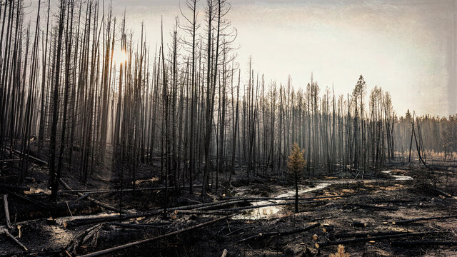 Pine forest after the Trap Creek fire north of Stanley, Idaho, in September 2020.