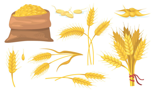 Yellow ripe wheat bunch, spikes and grains flat item set. Cartoon barley or corn cereal isolated vector illustration collection. Vegan plant, agriculture and nutrition concept