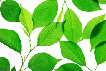新緑の葉っぱ Wall mural