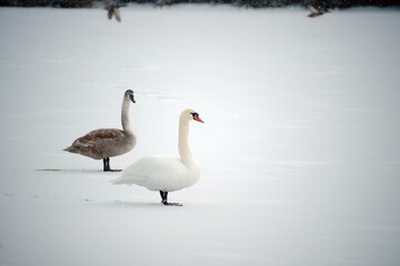 two swans on the lake snow