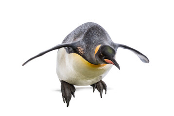 King penguin jumping for diving, isolated