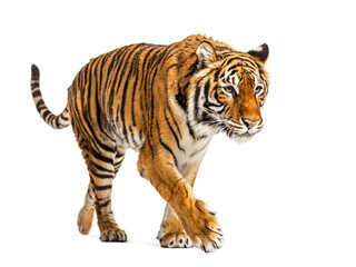Photo sur Plexiglas Dinosaurs Tiger prowling and approaching, isolated